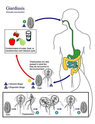 Lamblia és trichomonas. Hidrogenoszóma