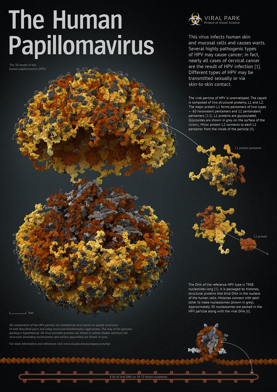 A human papillomavírusok és a méhnyakrák összefüggése | Eurocytology