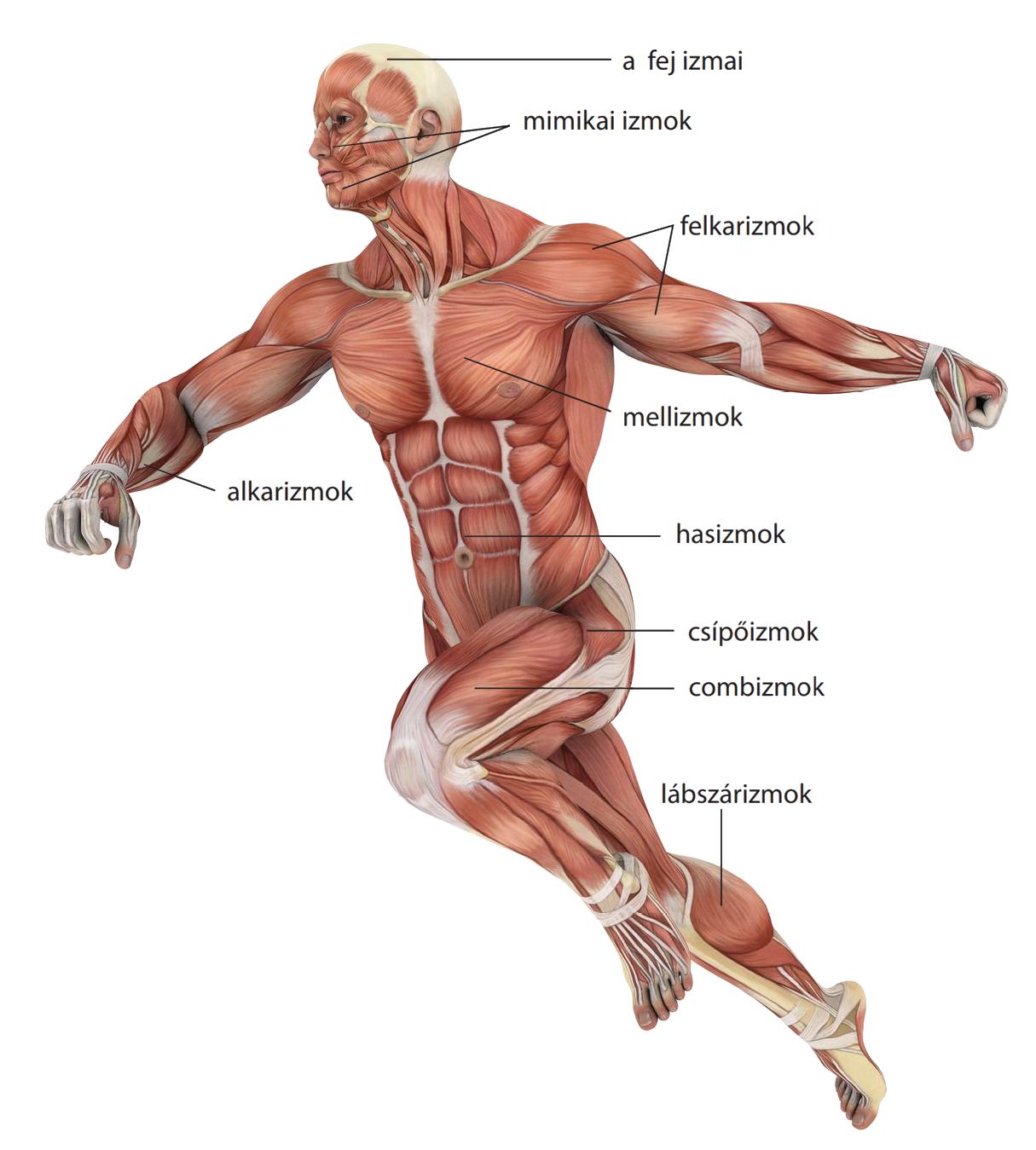 Helminták az emberi izmok kezelésében, Emberi test | Sulinet Tudásbázis