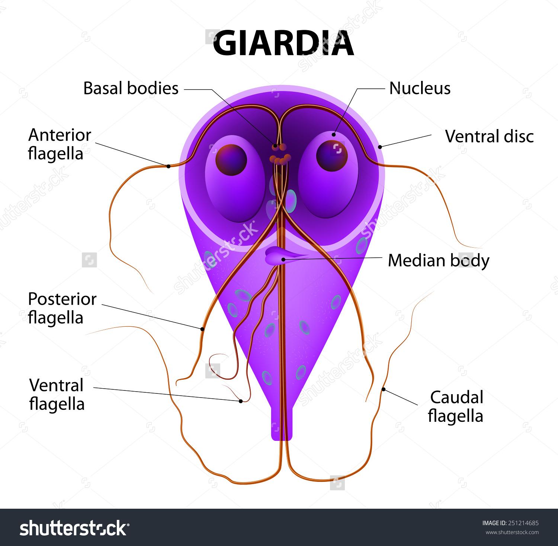 a féregtábla neve az ember számára vestibularis papillae kezelés