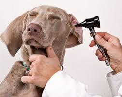 papillomatosis kezelésére szolgáló kutyák hogyan gyógyulnak a papillómák az ajkán