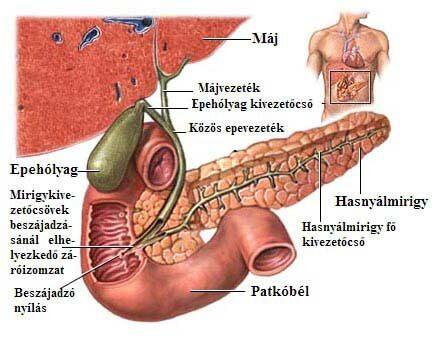 a pinwormok inkubációs periódusa
