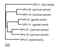 papillomavírus onkogén papillómák a szem sarkában