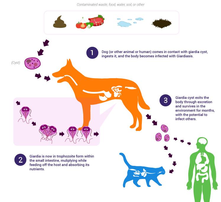 giardia bij honden