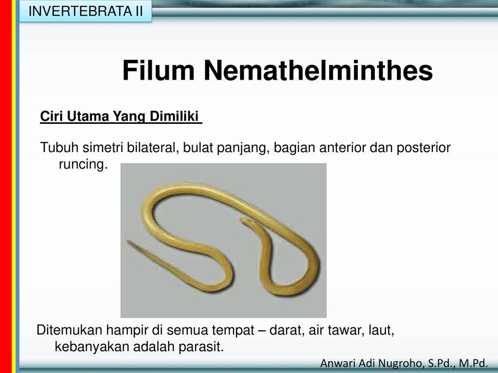 Filum nemathelminthes lengkap, Hosszúcsápú szalmacincér – Wikipédia