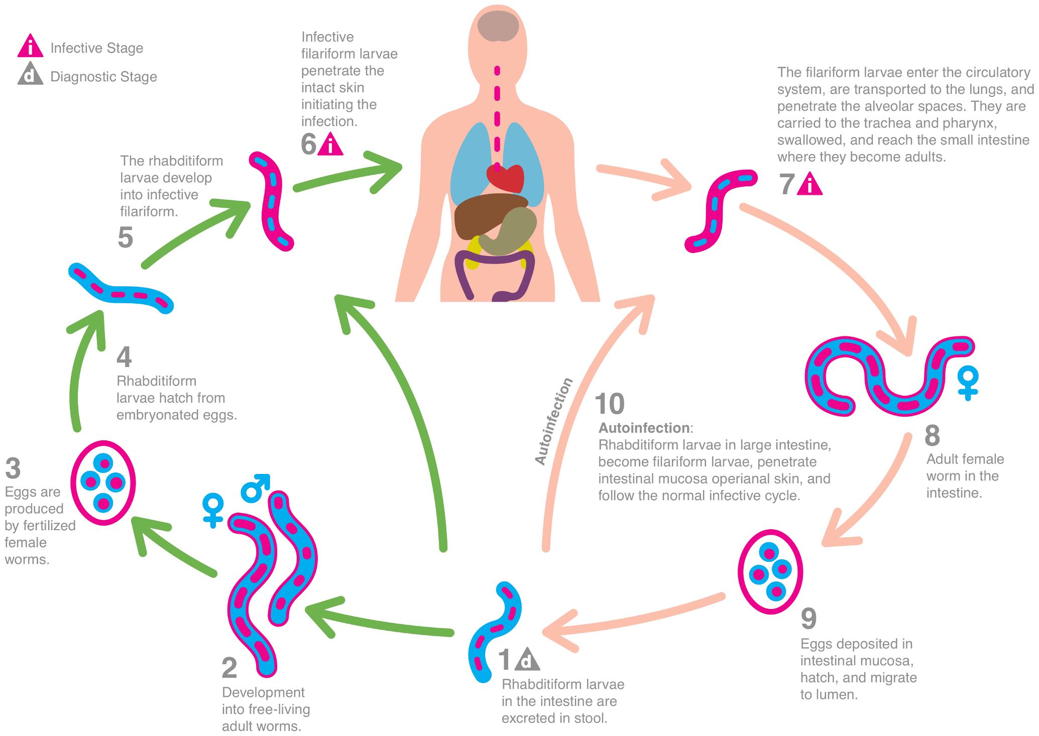 A helmintus lárvák diagnosztikája, Mennyire segít az enterobiosis