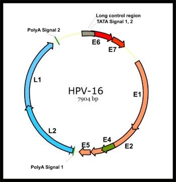 humán papillomavírus 16 és 18