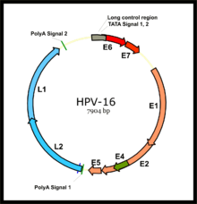 papilloma vírus 16