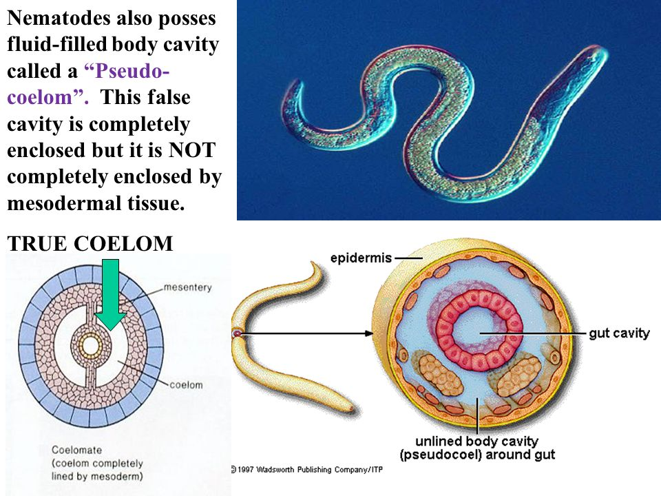 Aschelminthes ppt - moveinstudio.hu