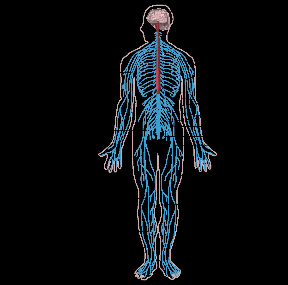 Bélférgesség tünetei és kezelése - A test reakciója a férgek kezelésére