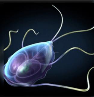 Kezeletlen giardia képek - Giardia betegseg, Giardiasis tünetei és kezelése - HáziPatika