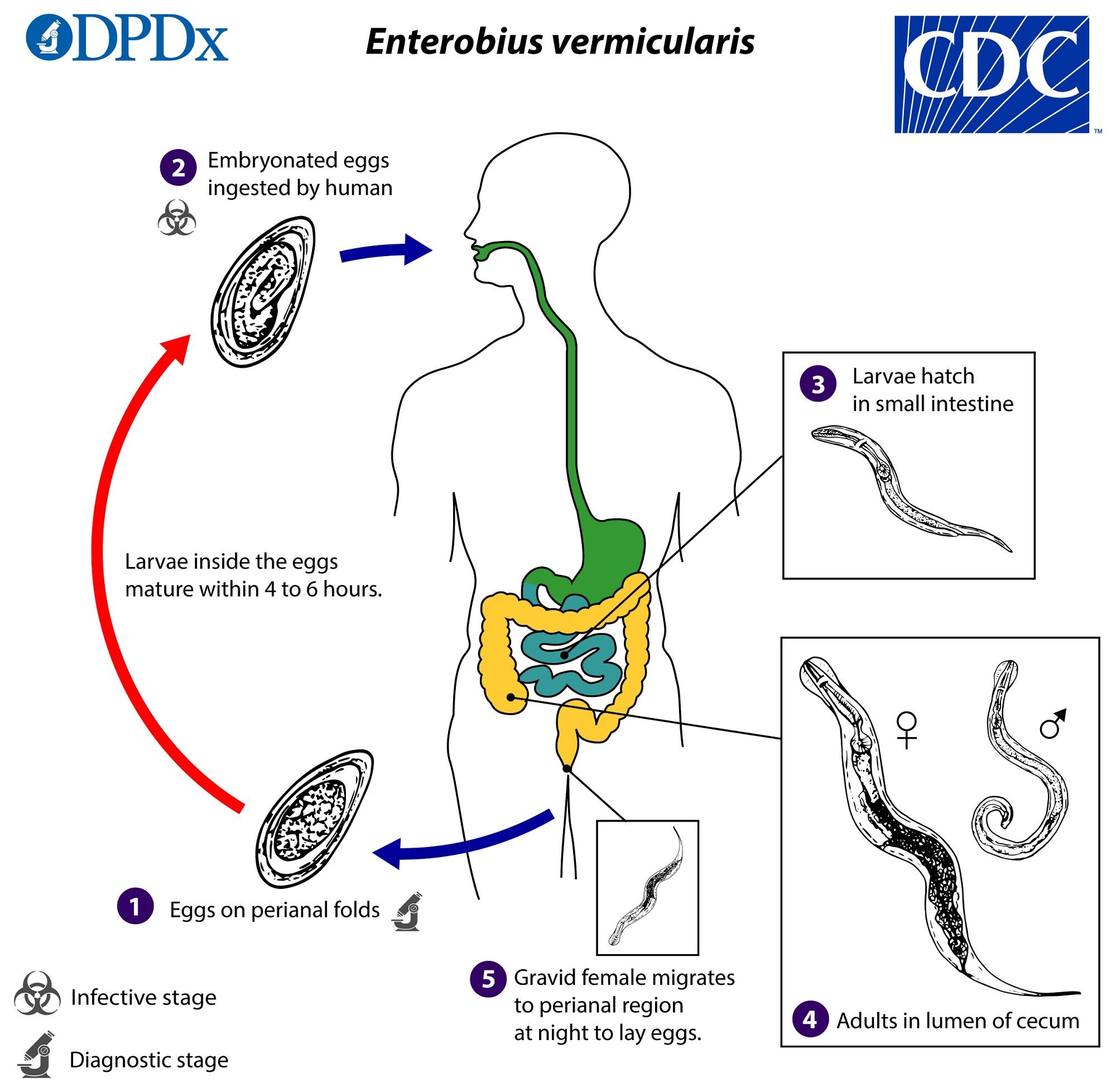 az enterobiosis inkubációs periódusa