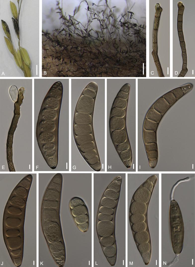 nodulosum helminthosporium humán papillomavírus biológia meghatározása