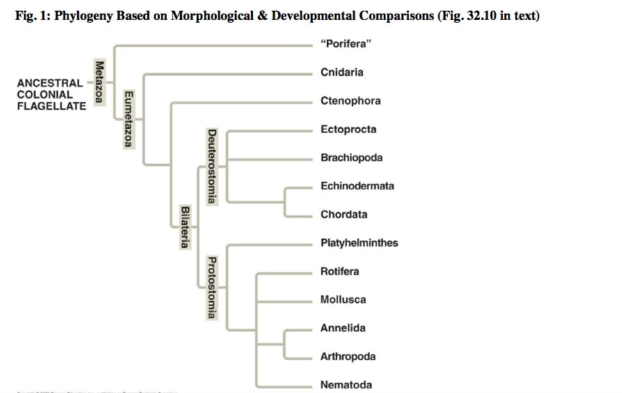 Cnidaria porifera platyhelminthes, Phylum platyhelminthes étrend.