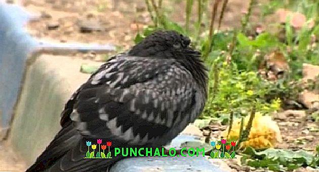 galambok és paraziták betegségei
