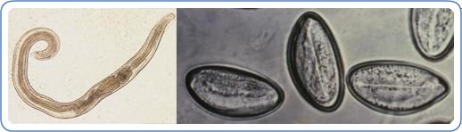 Pinworms női méret. Pinworm: tünetek és kezelés