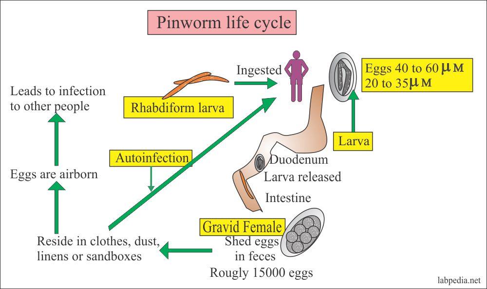 Pinworms kezelés gyógyszerek mi. Féregpete- és protozoonvizsgálat   Lab Tests Online-HU