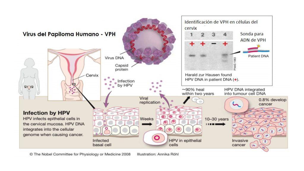 hpv vírus áttekintés