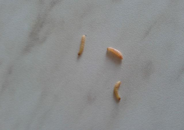 Vászon férgekkel történő kezelése. Enterobiasis (pinworms) gyermekeknél, Pinworms a vászonra