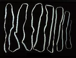 a diphibobotriasis átviteli tényezői