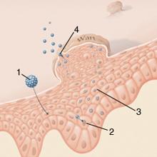szék opisthorhiasis vizsgálati mód az emberi papillomavírus azt eredményezi
