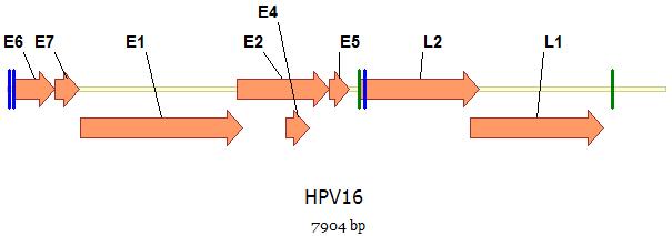 HPV és rák: kinek és mikor kell megvizsgálni, a tesztek típusai - Bárányhimlő