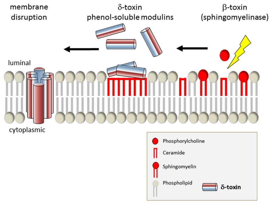 OTSZ Online - Hogyan fegyverzi le a Staphylococcus toxinja az immunrendszert?