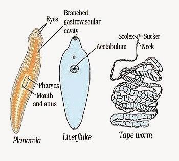 a nyaki platyhelminthes élőhelye kerek féreg ember formájában