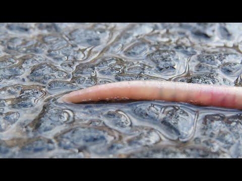 hogyan lehet megszabadulni a parazita gyomoktól parazita fertőző ágens