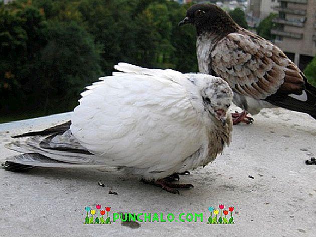 Fiatal galambok betegsége | GalambPatika