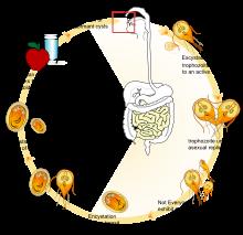 helicobacter paraziták kezelése paraziták milyen gyógyszereket szed